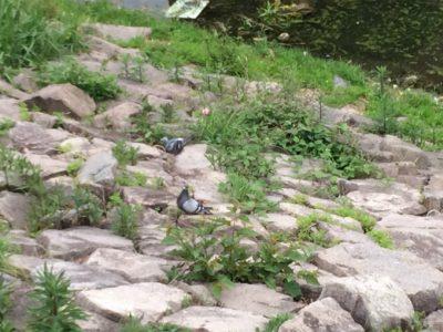 狭山池ハト