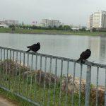 狭山池ハト雨