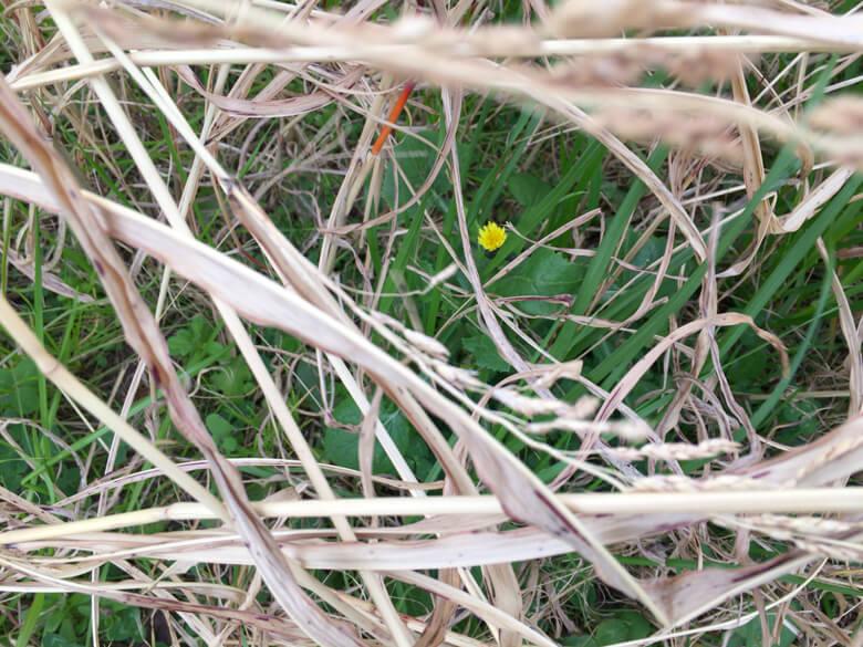 風吹くなか、枯れ草の中で守られている、たんぽぽみっけだポン(*^ω^*)