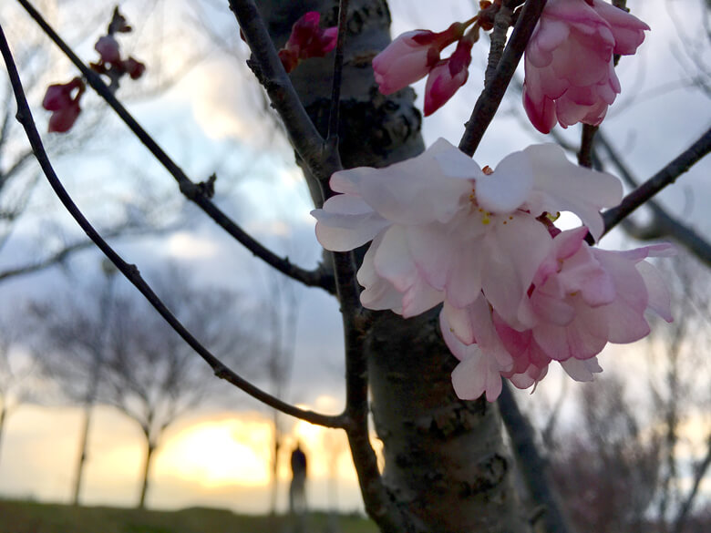 夕日と桜だポン☆