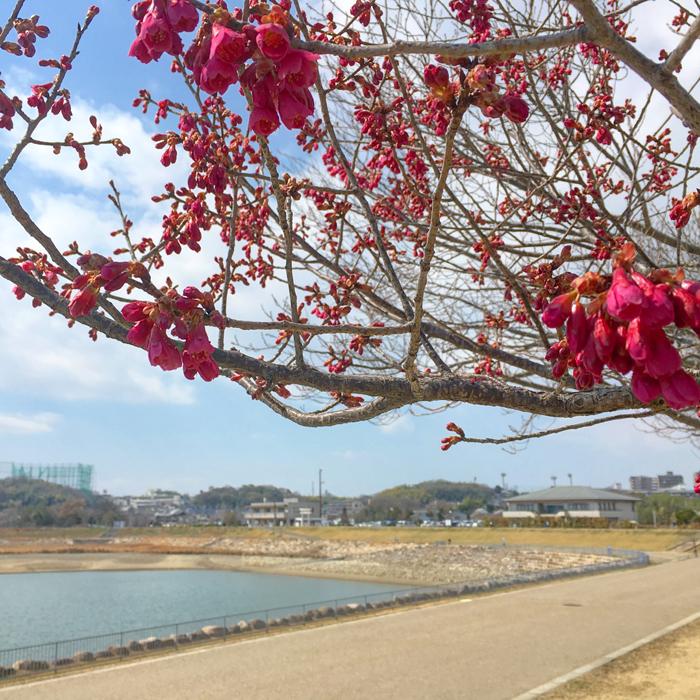 2017年3月10日(金曜日)の狭山池桜