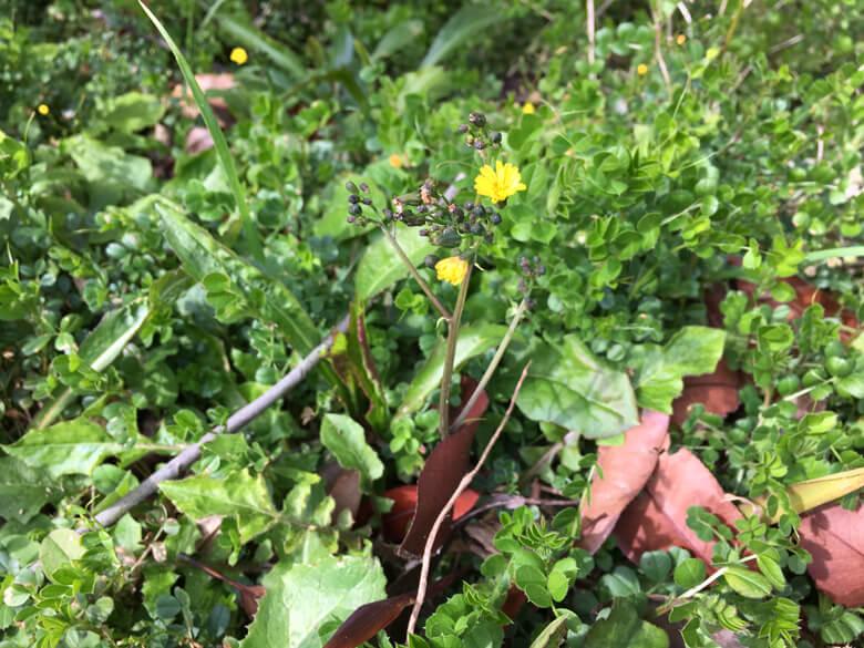 小さい黄色の花みっけだポン(*^ω^*)