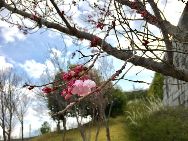 とってもキレイな桜