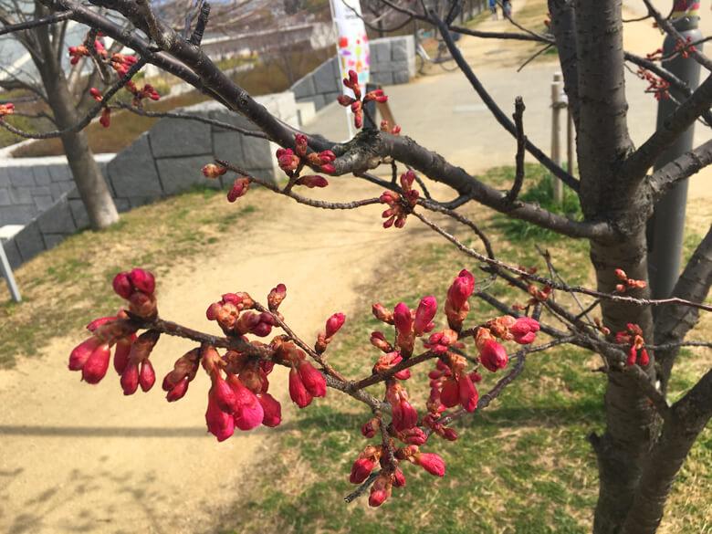 桜の花が少し開いてるポーンo(^▽^)o