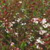 ユキヤナギが咲き始めたポン