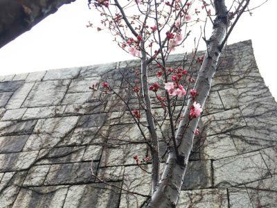 博物館石垣下の桜