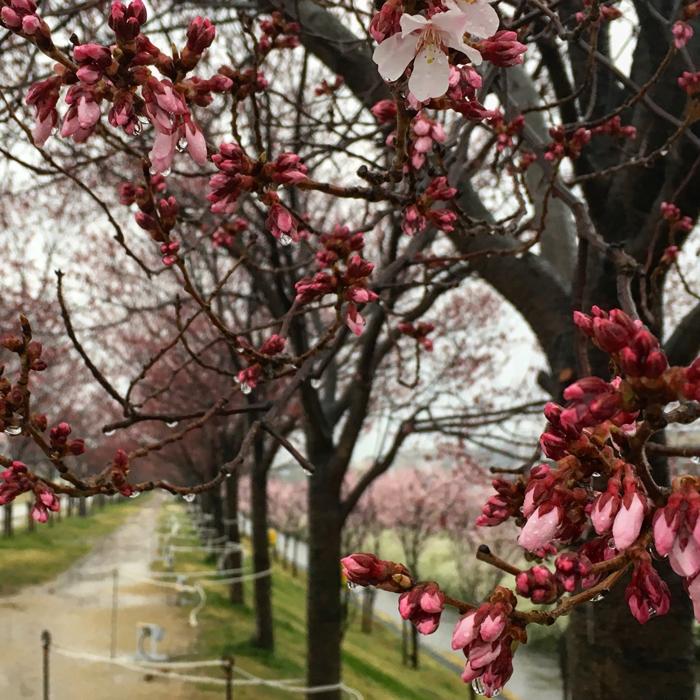 雨の中で桜がポン