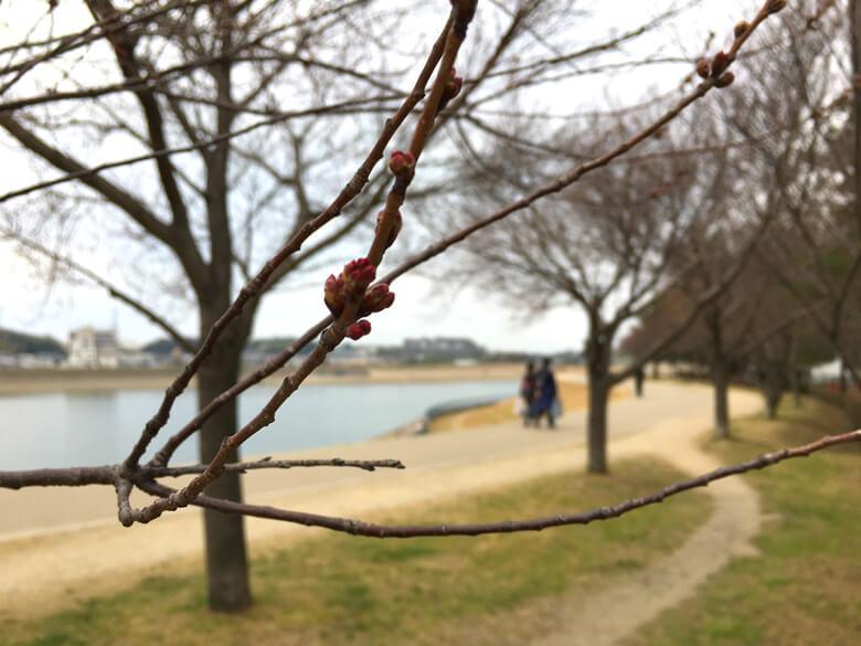 桜の芽だポン☆