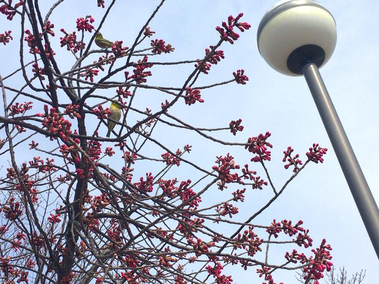 桜の木にメジロ