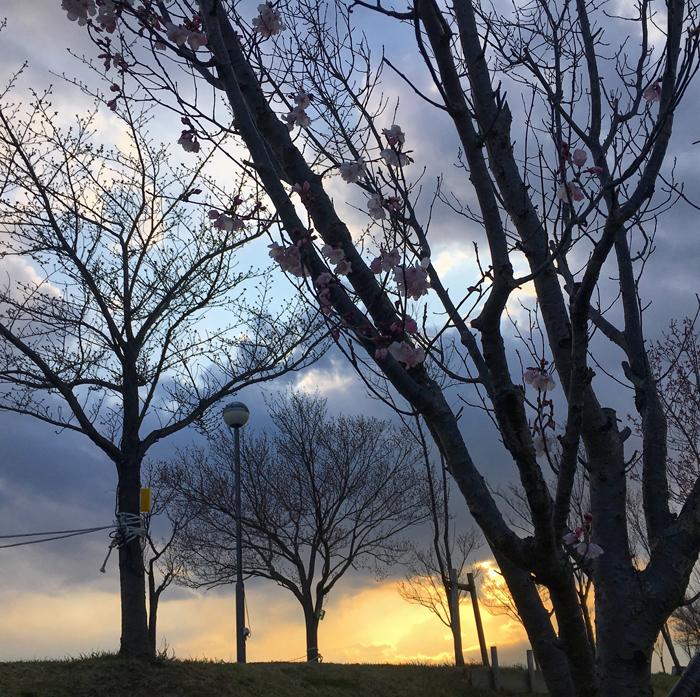 狭山池の桜と夕日