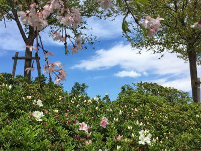 狭山池のしだれ桜とツツジと青空と