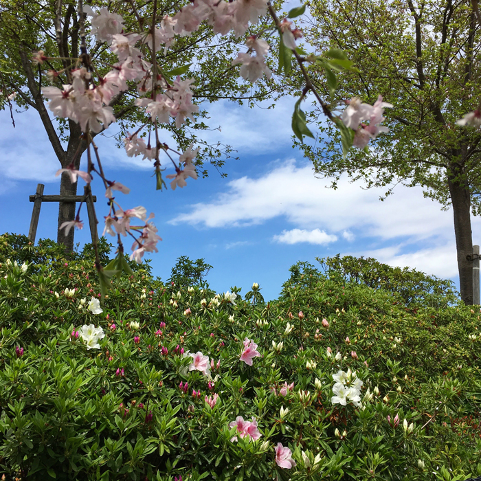 狭山池のしだれ桜とツツジと青空