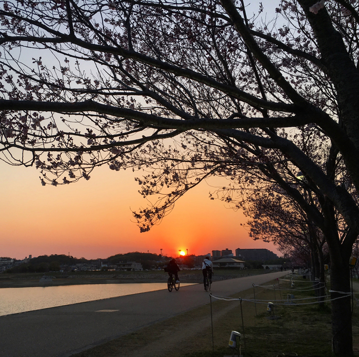 夕日と桜のライトアップ