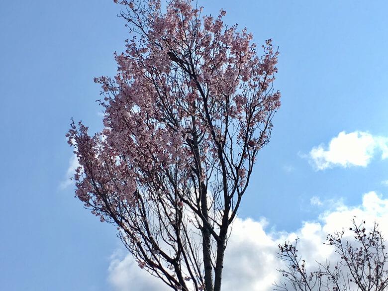 桜の花がヒラヒラ落ちてくるポン(゚ω゚) ポポ〜☆スズメだポン(*^ω^*)