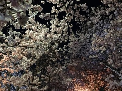 狭山池ライトアップ夜桜