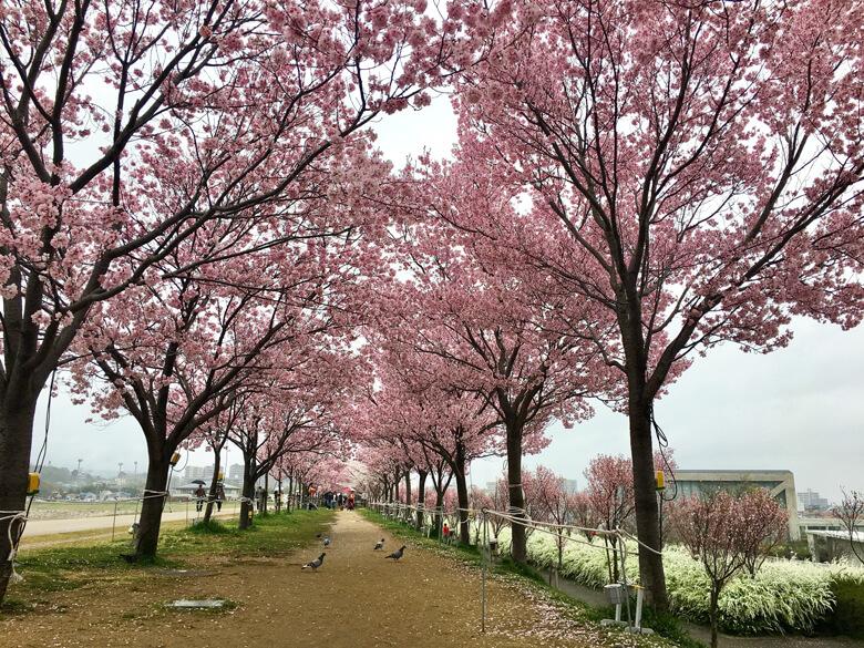 桜並木、キレイだポン☆