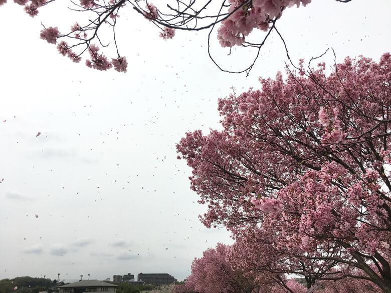 ポ☆桜吹雪だポ~ン☆