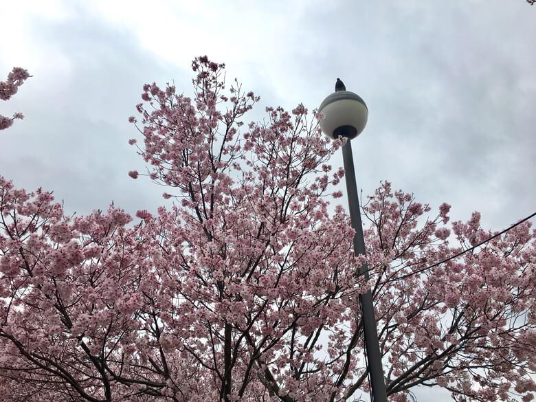ハトも桜見てるポン(*^ω^*)
