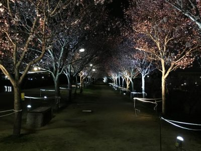 夜桜のライトアップはじまったポン