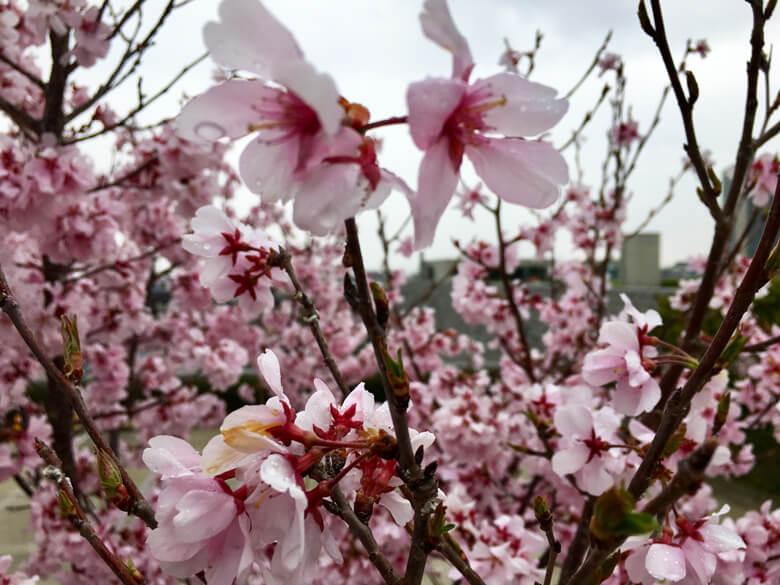 雨に濡れた桜もキレイだポン(*´ω`*)