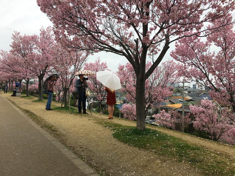 雨の中でも、みんな桜の写真撮ってるポン☆