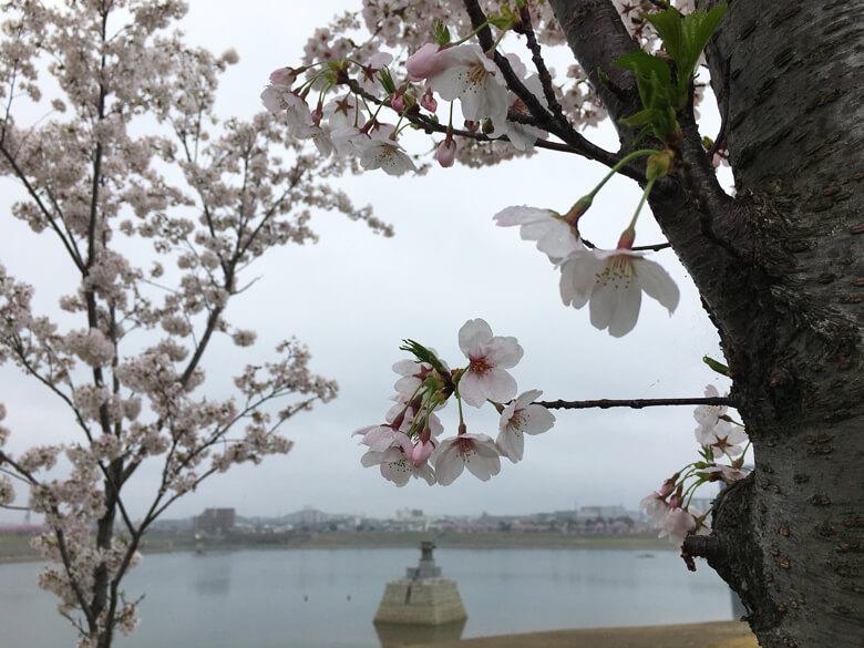 雨降ってるけど、桜は、元気に咲いてるポン(*^ω^*)
