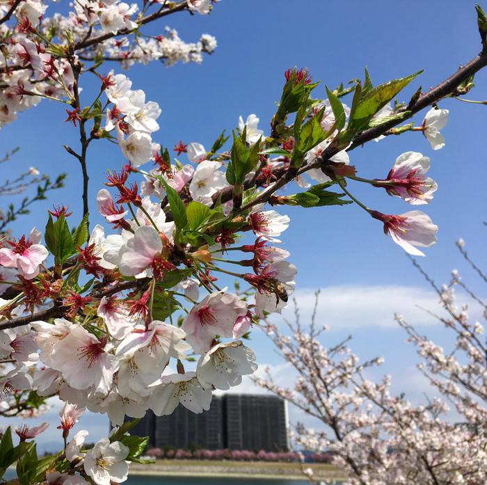 桜の花びらと緑