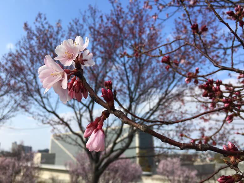 桜、キレイだポン〜(*´ω`*)