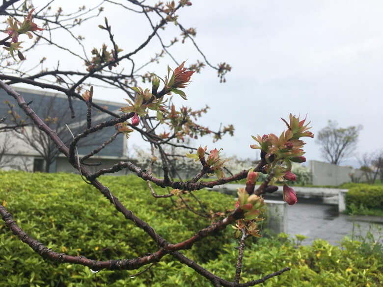 博物館入口のあたりに、蕾をみっけだポンo(^▽^)o