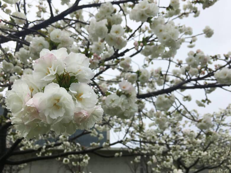 元気いっぱい咲いてるポン(*^▽^*)