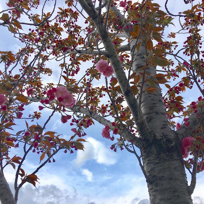 狭山池の八重桜