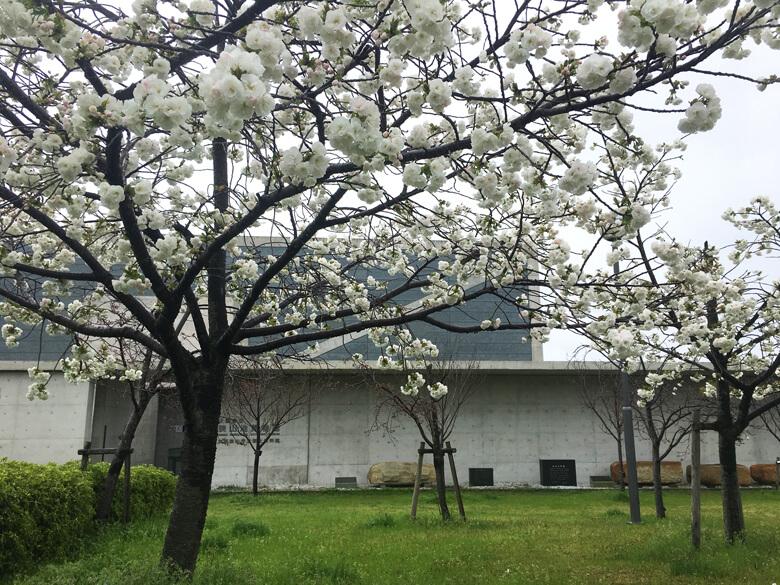 ポポポポーン☆ 白くてかわいい桜みっけだポーン☆o(≧▽≦)o☆