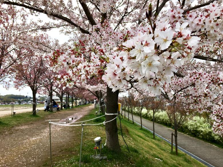 北堤の桜並木の下でも、花見を楽しんでるポン♪(๑ᴖ◡ᴖ๑)♪
