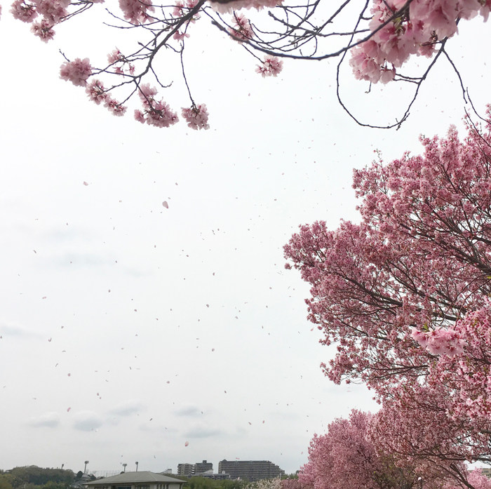 桜吹雪と狭山池