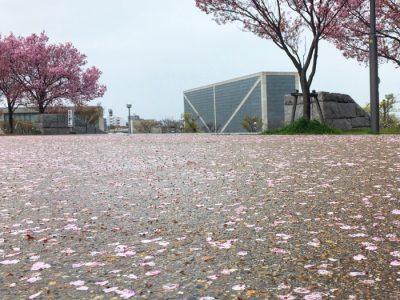桜散る狭山池