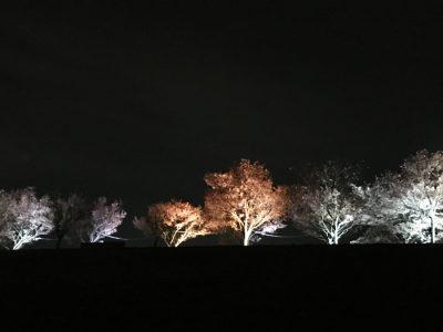 狭山池の夜桜ライトアップ延長最終日