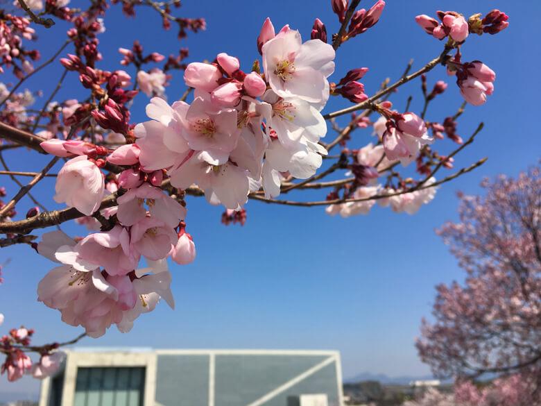 桜のアップだポ~ン☆