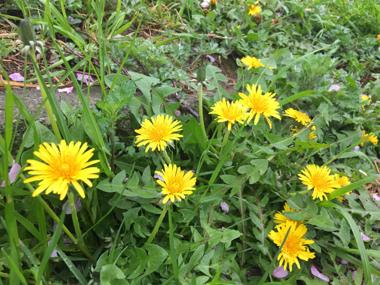 タンポポも、雨の中ポンポン元気に咲いてるポーンo(^▽^)o