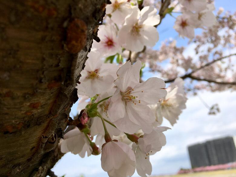 桜キレイだポン(*^ω^*)
