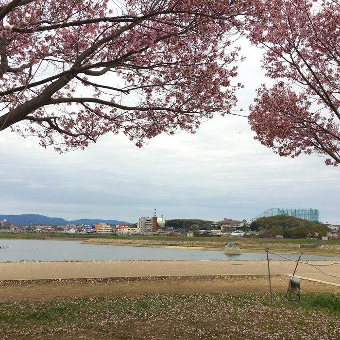 風ピューピュー 桜の花びらヒラヒラ