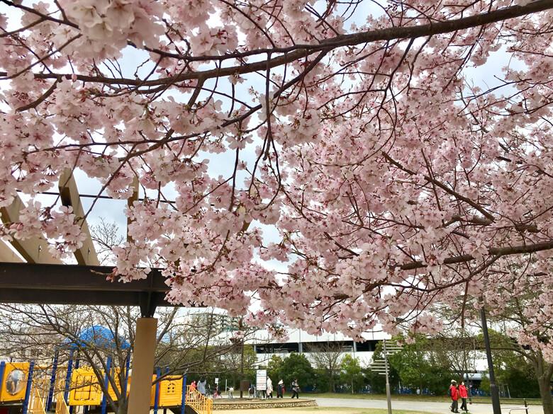 さやか公園の桜も満開だポン☆
