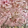 狭山池桜満開