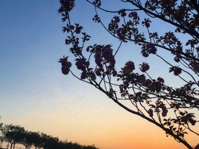 夕日と八重桜