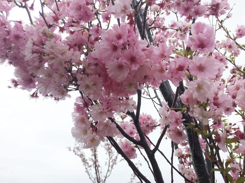 桜も、風にユラユラ揺れてるポン(*゚∀゚*)