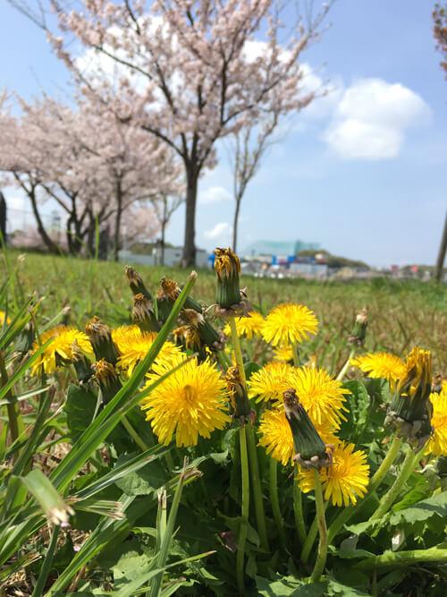 狭山池は、桜とタンポポが元気に咲いてるポーン(((o(*゚▽゚*)o)))♡