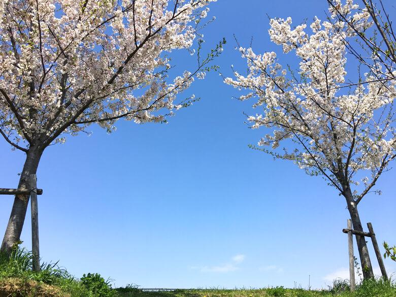 青空、ポカポカ~♬ 桜の花びら、ヒラヒラ~♬