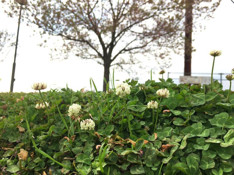 シロツメクサがいっぱい咲いてるポン(*^ω^*)