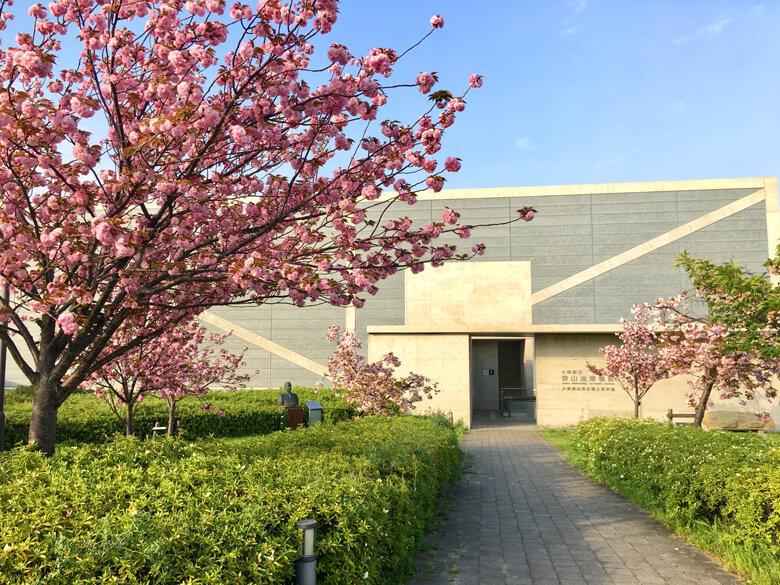 博物館の入り口辺りに、八重桜が綺麗に咲いてます