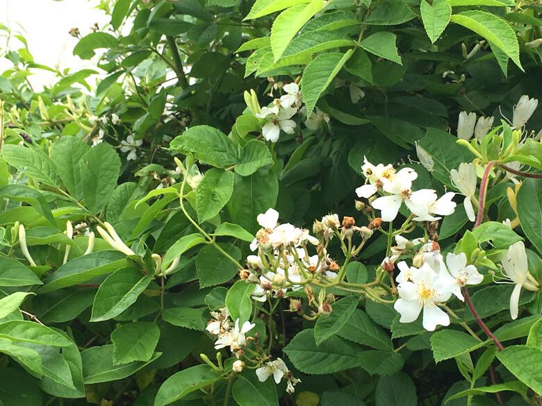 白い花から、いいニオイがするポン(*^ω^*)