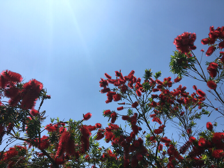 ブラシノキの赤い花 風に吹かれ、ゆれゆれ〜だポン♬(*゚▽゚*)♬